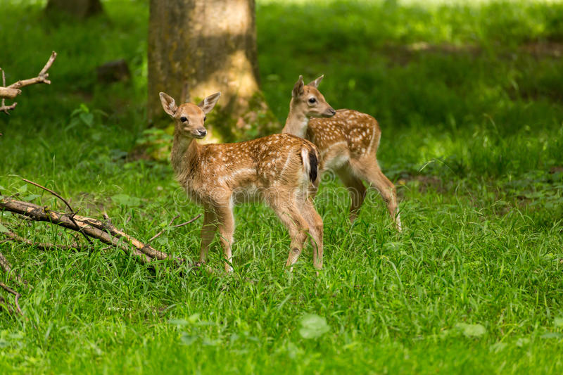 Two young toddler fawn kids fallow deer babies royalty free stock images