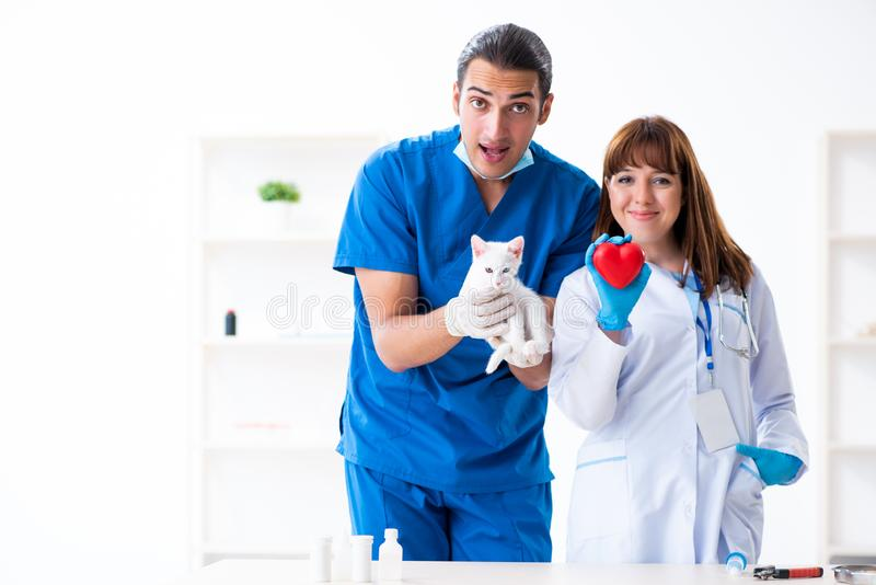 Two young vet doctors examining sick cat. The two young vet doctors examining sick cat royalty free stock photography
