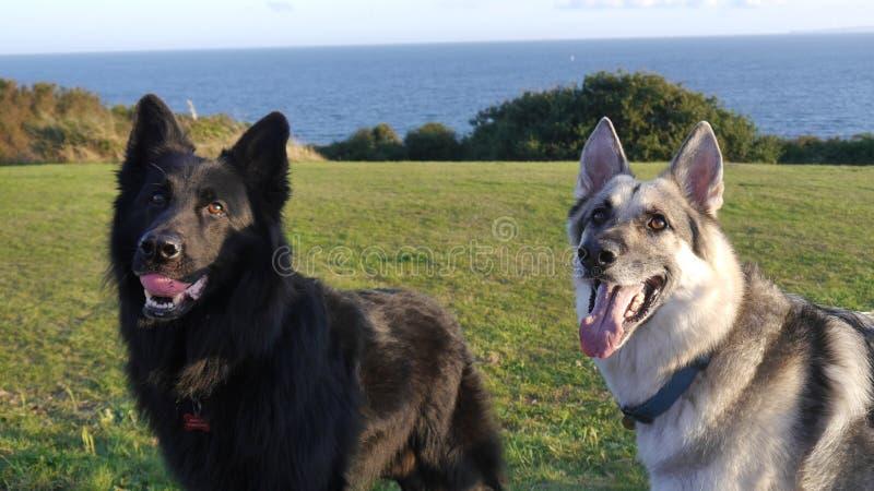 Two German Shepherd dogs standing vibrant & alert royalty free stock photos