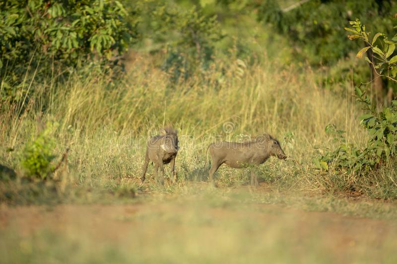 Two young warthogs standing alert. Antcipating danger stock photo