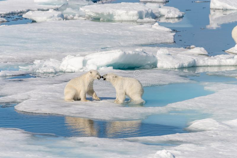 Two young wild polar bear cubs playing on pack ice in Arctic sea, north of Svalbard royalty free stock photography