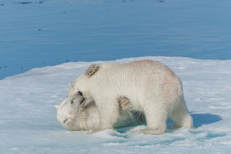 Two young wild polar bear cubs playing on pack ice in Arctic sea, north of Svalbard.  royalty free stock images