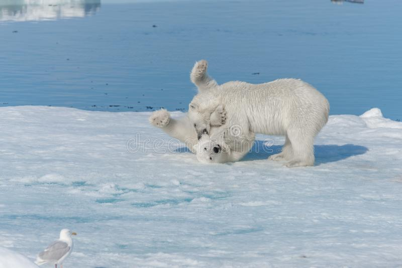 Two young wild polar bear cubs playing on pack ice in Arctic sea, north of Svalbard.  royalty free stock photos