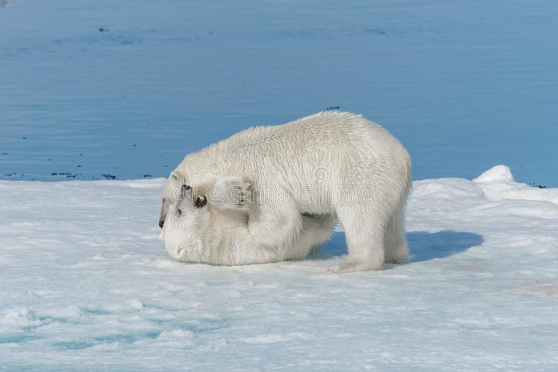 Two young wild polar bear cubs playing on pack ice in Arctic sea, north of Svalbard.  stock photos