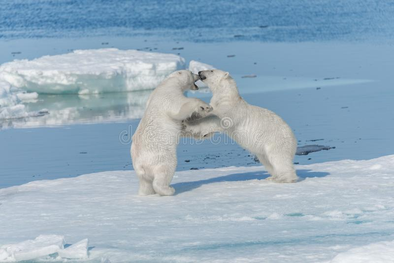 Two young wild polar bear cubs playing on pack ice in Arctic sea, north of Svalbard stock photography