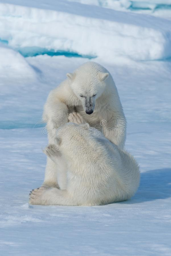 Two young wild polar bear cubs playing on pack ice in Arctic sea, north of Svalbard.  stock image