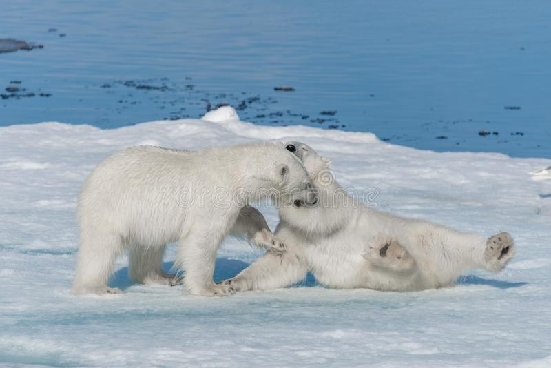 Two young wild polar bear cubs playing on pack ice in Arctic sea, north of Svalbard.  royalty free stock photography