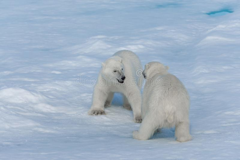 Two young wild polar bear cubs playing on pack ice in Arctic sea, north of Svalbard.  stock images