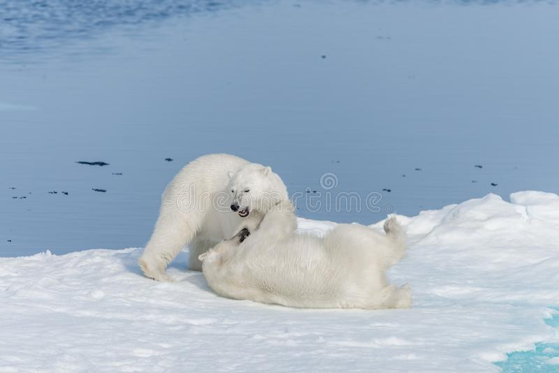Two young wild polar bear cubs playing on pack ice in Arctic sea, north of Svalbard.  stock photo