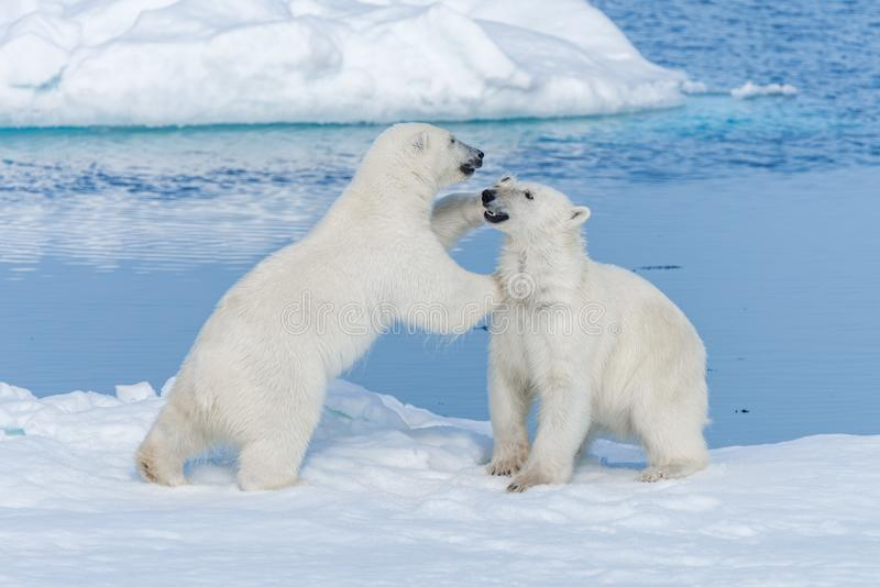 Two young wild polar bear cubs playing on pack ice in Arctic sea, north of Svalbard.  royalty free stock image