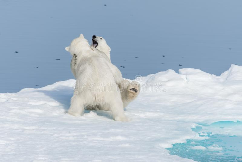 Two young wild polar bear cubs playing on pack ice in Arctic sea, north of Svalbard.  royalty free stock photo