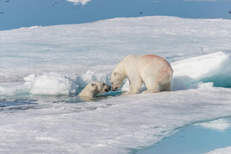 Two young wild polar bear cubs playing on pack ice in Arctic sea, north of Svalbard.  stock photography