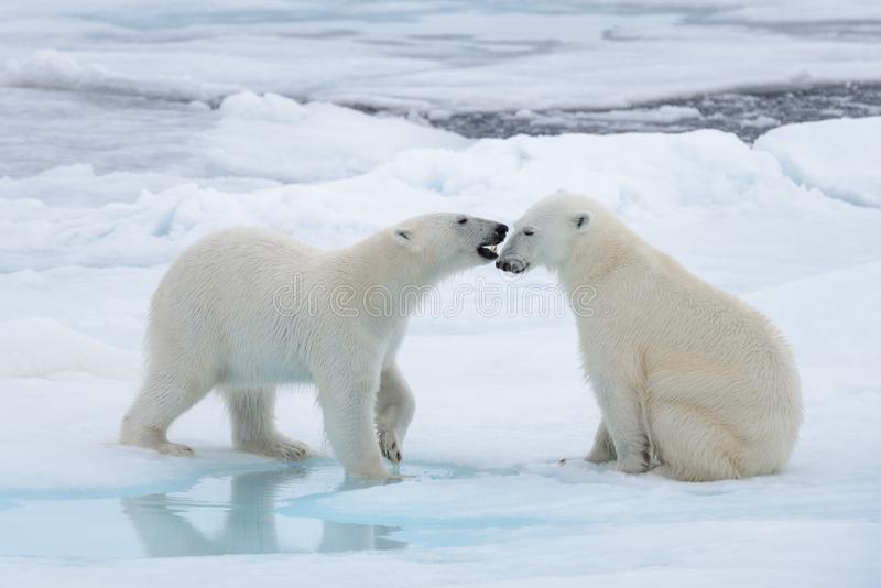 Two young wild polar bears playing on pack ice. In Arctic sea stock images
