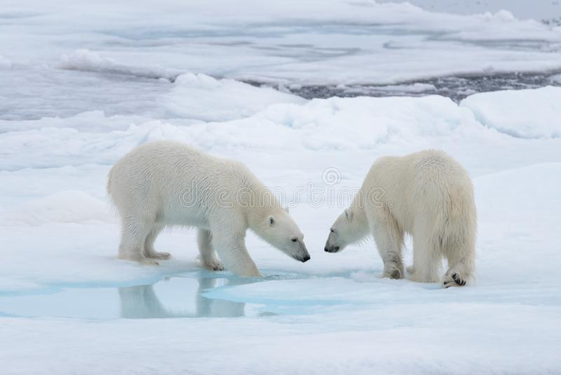 Two young wild polar bears playing on pack ice stock image