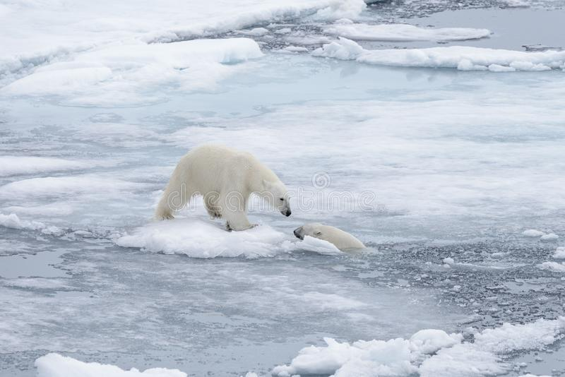Two young wild polar bears playing on pack ice royalty free stock photography