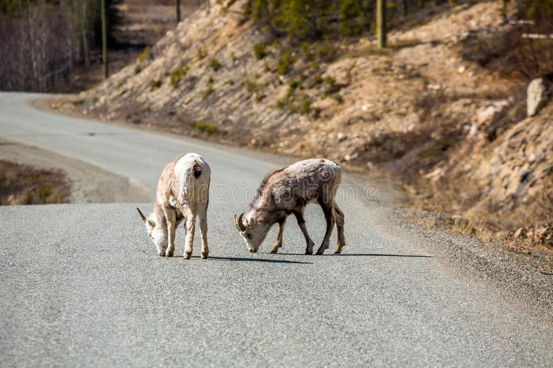Two young wild sheep licking the road in the Yukon Territory of Canada. Two young Stone Sheep or Dall Sheep lick mineral deposits from the Cassiar Highway near royalty free stock photo