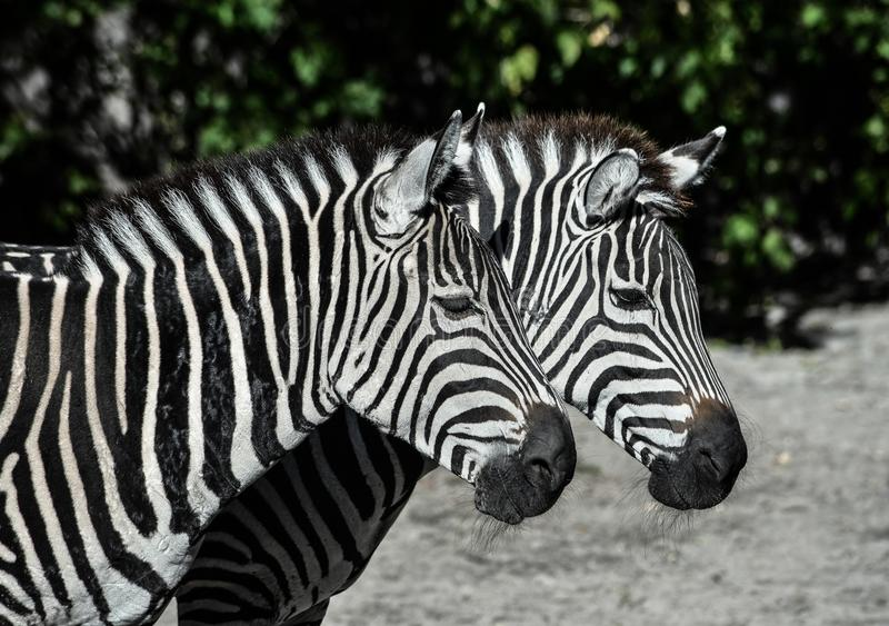 Two young zebras in the zoo stock image