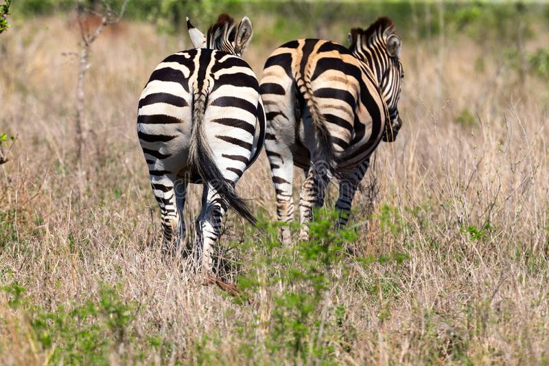 Two Zebra companions walking through the veldt with long grass royalty free stock photo