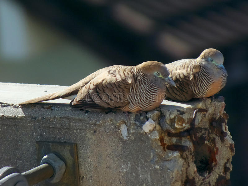 Two zebra dove slept. On the electricity post stock photo