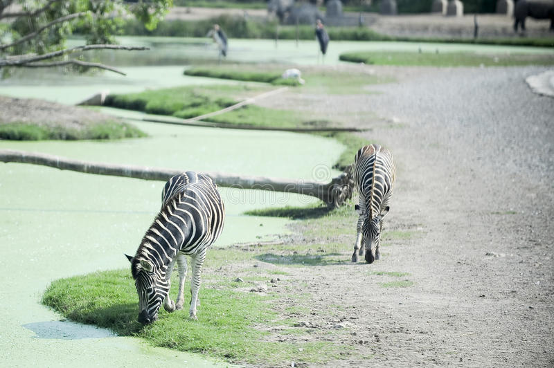 two Zebra drink water stock image