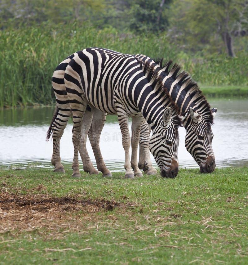 Two zebra feeding in green grass field. Use for safari wildlife theme stock images