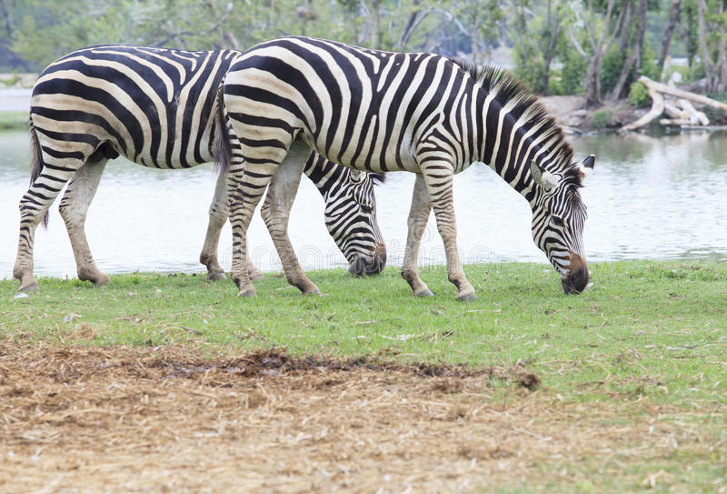 two zebra on green field eating grass leaves use for african animals wildlife theme royalty free stock photos