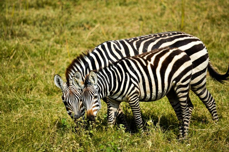 Two Zebra on Green Grass at Daytime royalty free stock photography