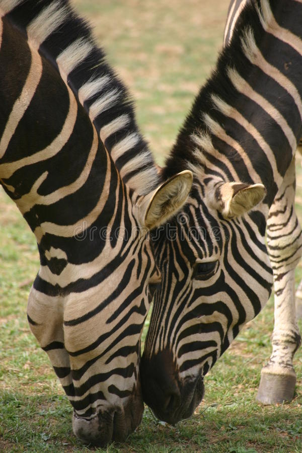Two zebra heads stock photos