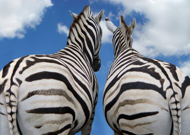 Download Two zebra in love stock image. Image of summer, black - 14290953