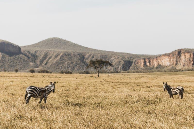 Two zebra in savanna on safari Kenya national park. Two zebras in savanna on safari in Kenya national park. Harmony in nature royalty free stock photo