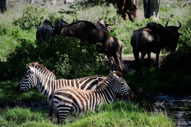 Two Zebras. Stock Photo