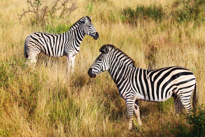 Two Zebras Stock Photos