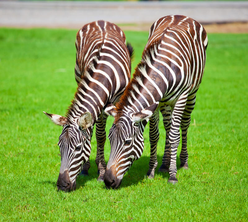 Download Two zebras stock photo. Image of black, africa, grazing - 19837748