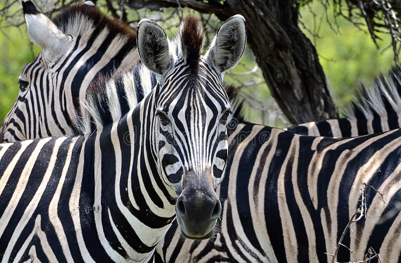 Download Two Zebras stock image. Image of exotic, black, stripes - 24313977