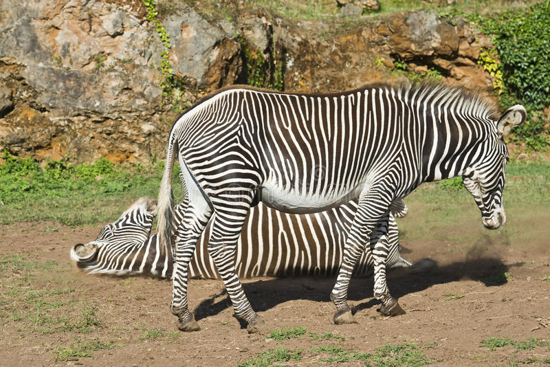 Download Two Zebras stock photo. Image of ecosystem, habitat, environment - 26620602