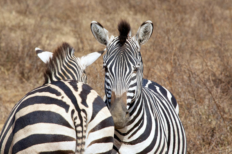 Two zebras. In the african bush stock image