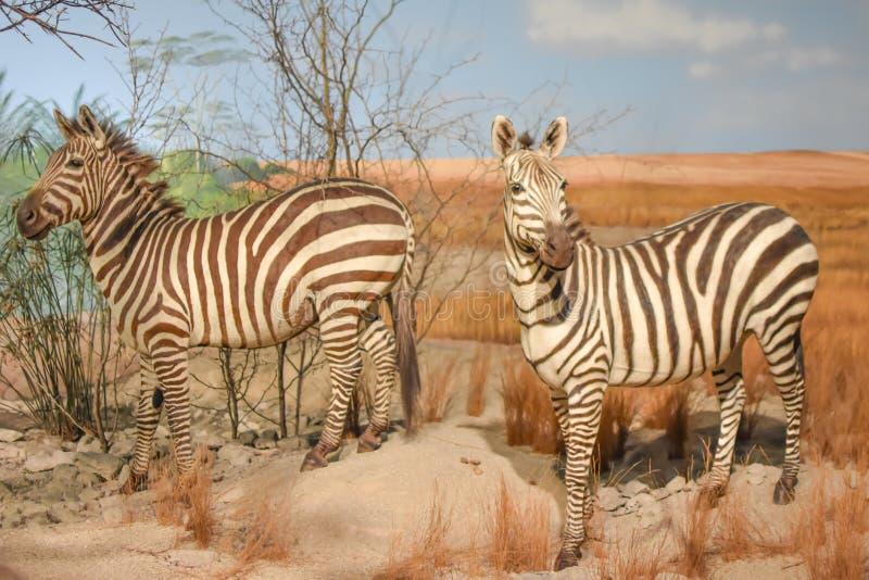 Two Zebras in an African Savanna Exhibit stock image
