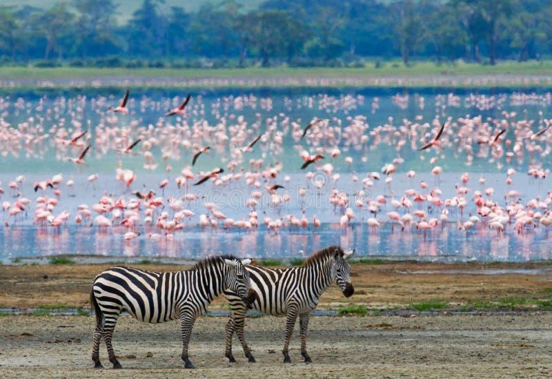 Two zebras in the background flamingo. Kenya. Tanzania. National Park. Serengeti. Maasai Mara. An excellent illustration royalty free stock photos