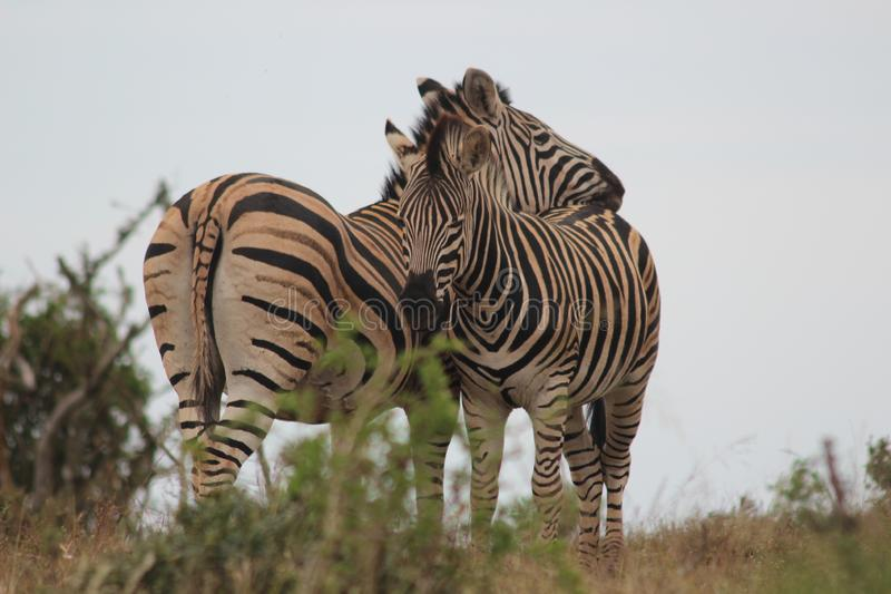 Two zebras cuddling on meadow in nature royalty free stock image