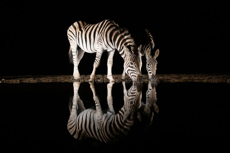 Two zebras drinking from a pool in the night. A mother and juvenile zebra drinking from a pool in the middle of the night reflecting in the water stock photography