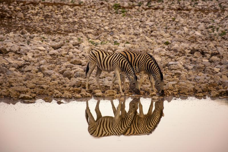 Two zebras drinking water at sunrise in Etosha National Park, Namibia. With reflection in the waterhole stock photos