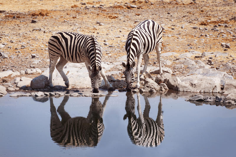 Two zebras drinking water in a waterhole in the Etosha National Park. Namibia royalty free stock photography
