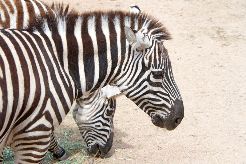 Two zebras eating hay off the dusty ground royalty free stock photo
