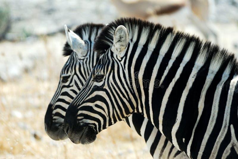 Two zebras in the Etosha National Park, Namibia stock images