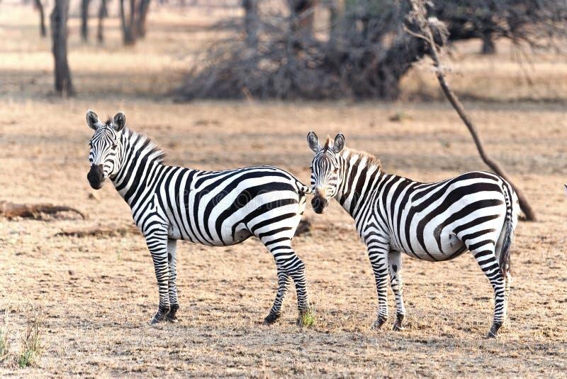 Two Zebras in Kenya stock photo