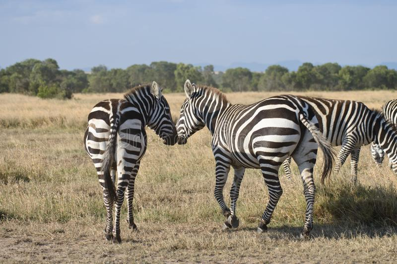 Two kissing zebras royalty free stock photography