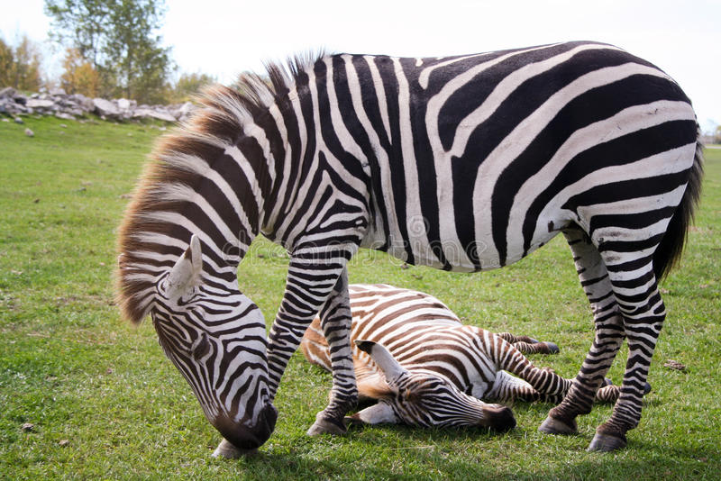Two zebras, one standing and one sleeping stock photo