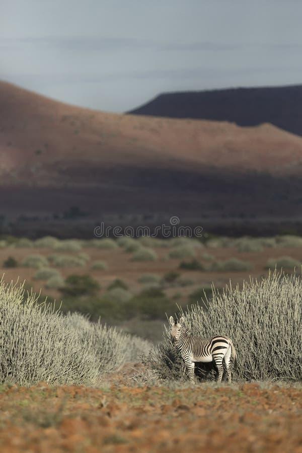 Two zebras in Palmwag concession. Kaokoland, Namibia. Two zebras in Palmwag concession. Kaokoland, Kunene Region, Namibia royalty free stock photos