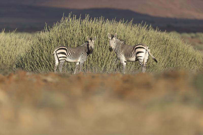 Two zebras in Palmwag concession. Kaokoland, Namibia royalty free stock images