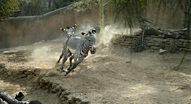 Two zebras running royalty free stock photo